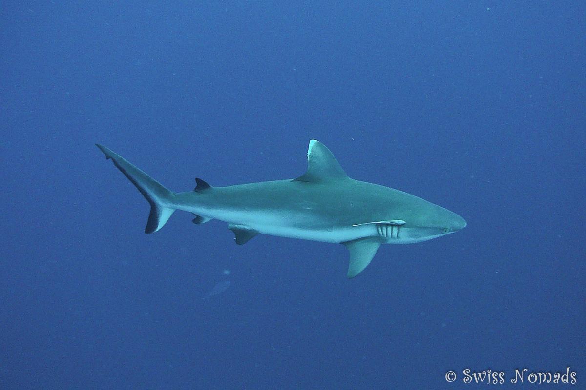 Malediven Reisetipps Tauchen mit Riffhaien